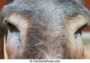 åsna, ögon