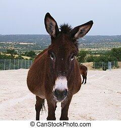 åsna, avbild