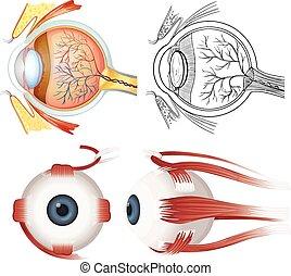 anatomi, ögon