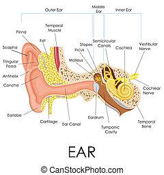 anatomi, öra, mänsklig