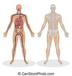 anatomi, mänsklig, man