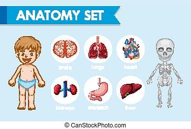 anatomi, medicinsk, mänsklig, vetenskaplig, illustration