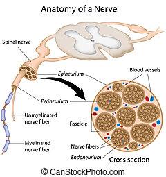 anatomi, nerv