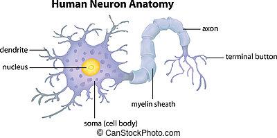 anatomi, neuron, mänsklig