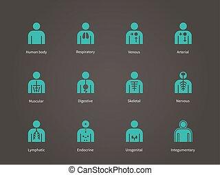 anatomi, set., system, mänsklig, ikonen