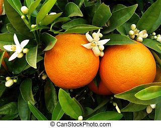 apelsin träd, två, apelsiner