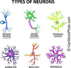 astrocyte, sensorisk, pyromidal, motor, struktur, betz, set., neuron, isolerat, illustration, infographics., vektor, microglia., bakgrund, neurons., slagen, cell