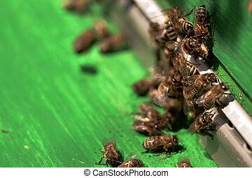 bin, bikupa, samla, hive., samla, tidigt, honung, omkring, pollen, fluga, fjäder, efter, svärm