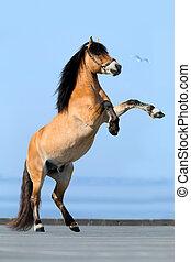 blå, bakgrund., häst, reared