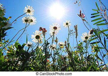 blå, sommar, blomma, sky, tusensköna