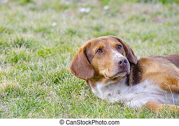 blandad ras, sömnig, hund, gräs