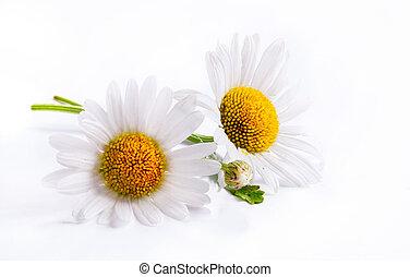 blomma, konst, fjäder, isolerat, bakgrund, vit, tusenskönor