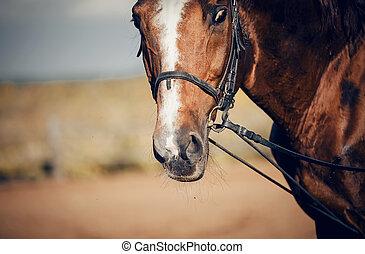bridle., röd, dressyr, häst, horse., näsa, sports