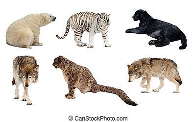 carnivora, över, isolerat, sätta, mammal., vit