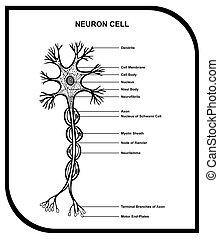 cell, anatomi, neuron, diagram, mänsklig