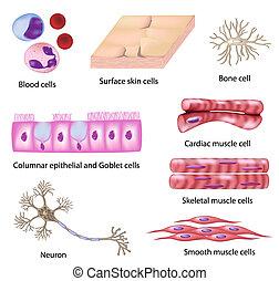 cell, mänsklig, kollektion