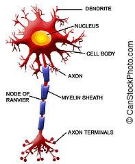cell, neuron