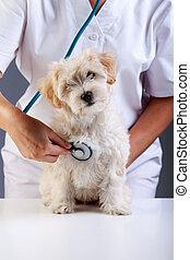 checkup, litet, veterinär, silkesfin, hund