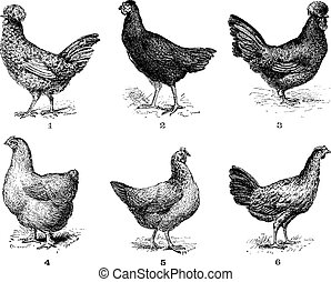 chicken., 5., crevecoeur., höna, höna, 6., arrow., 4., cochin, 2., årgång, 1., 3., hen., dorking, houdan, engraving., bresse, hönor
