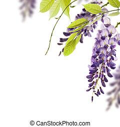 dekorativ, blåregn, synvinkel, bladen, element, blomningen, bakgrund., gröna vita, gräns, över, sida