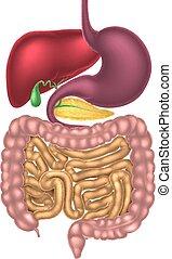 digestiv, närande, kanal, system