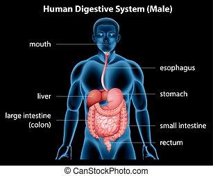 digestiv system, mänsklig