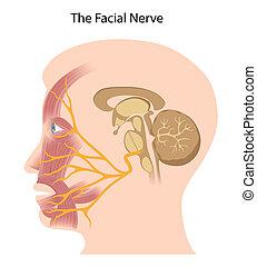 eps10, ansiktsbehandling, nerv