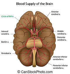 eps10, blod, hjärna, tillförsel