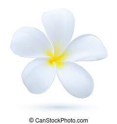 exotisk växt, blomma, konst, blomma, hawaii, frangipani, tropisk, vektor, plumeria, vit
