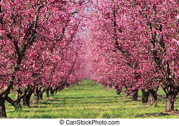 fjäder, fruktträdgård, körsbär
