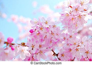 fjäder, under, blomstringar, körsbär