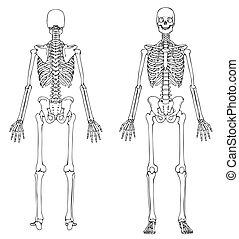 främre del, skelett, baksida