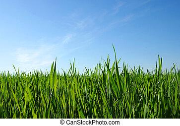 gräsmatta, grön