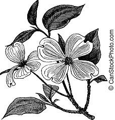 gravyr, cornus, årgång, florida, skogskornell, blomning, eller