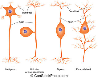 grundläggande, slagen, neuron