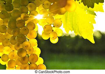 gul, druvor