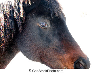 häst, ansikte