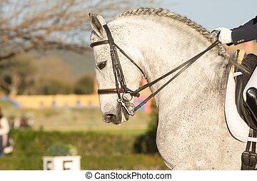 häst, grå, ansikte, dressyr, spansk, stående, konkurrens