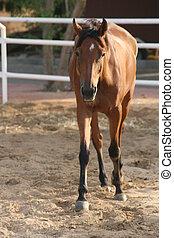 häst, märkningar, låga, vik