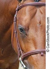 häst, närbild, ansikte