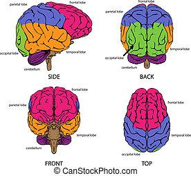 hjärna, alla, sidor, mänsklig