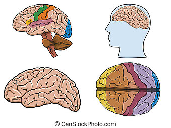 hjärna, vektor, mänsklig