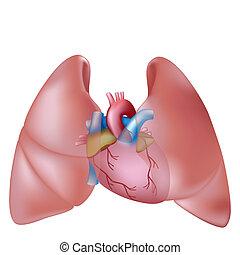 hjärta, mänsklig, lungan