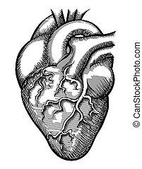 hjärta, vektor, mänsklig