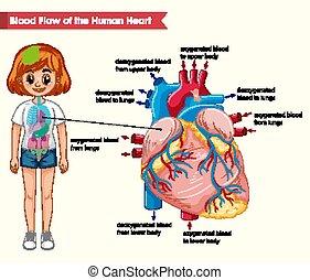 hjärta, vetenskaplig, läkar illustration, bloodflow, mänsklig