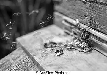 honung, fokus., well-coordinated, hive., organization., samla, foto, selektiv, svärm, arbete, bin, vit, begrepp, omkring, svart