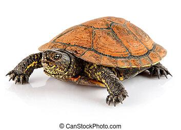 husdjuret, vit, sköldpadda, djur, isolerat