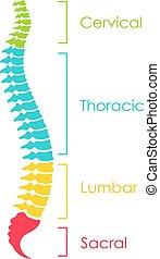 illustration, vektor, ryggrads, intrig, binda med rep, anatomisk