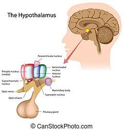 kärnaor, hypothalamus