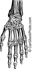 knotor, dem, illustration., ordbok, 1885., skarv, årgång, carpal, carpometacarpal, radiocarpal, -, labarthe, hand, medicin, paul, (dorsal), inrista, vanlig